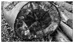 Nr-14-Buchenstamm (idunavision) Tags: tree trunk stamm buche beechtree bwsw leicar3 summicron50mm