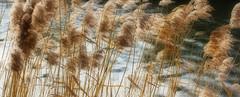 Dreamy (cropped ver) (ArtGordon1) Tags: queenelizabetholympicpark stratford london england uk february 2019 winter davegordon davidgordon daveartgordon davidagordon daveagordon artgordon1 grasses reeds