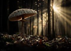 Parasol Mushroom (Eifeltopia) Tags: pilz sunburst forest wald südeifel eifel delectable parasol mushroom manipulated tall leaves sonne sun sonnenschein macro wideangle single macrolepiotaprocera lepiotaprocera gemeiner riesenschirmling nature cap gills stem backlit sunrays sunbeams darkbrown reddishbrown