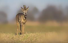 Roe Buck (Paula Darwinkel) Tags: roedeer deer buck animal wildlife nature wildlifephotography