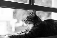 Kota by window / 窓際のコタ (peaceblaster9) Tags: cat window blackandwhite bnw bw blackwhite leica ネコ 猫 neko 猫の日 白黒 モノクロ モノクローム