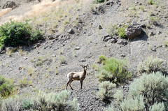 _DW67271.jpg (Upstate Dave) Tags: 2018 majorplaces yellowstone mammals bighornsheep yellowstonenationalpark