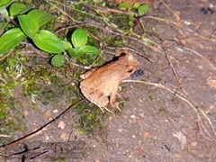 Megophrys ombrophila #7 DSCN1094v3 (Kevin Messenger) Tags: amphibians frog fujian wuyishan megophrys ombrophila amphibia toad china kevin messenger hollis dahn new species guadun herpetology canon wildlife research nature