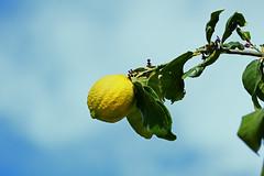 Lemon on tree 1 (benrokh) Tags: m50 stm eosm50 canonm50 55250 55250stm is