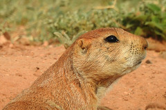 Quitaque - Hmmm, Hot Today ! (Drriss & Marrionn) Tags: quitaque texas usa nationalpark park sky caprockcanyons red mountainousterrain hills animals animal mammal mammals blacktailedprairiedog cynomysludovicianus sciuridae rodentia taxonomy:binomial=cynomysludovicianus taxonomy:subgenus=cynomys taxonomy:genus=cynomys taxonomy:species=ludovicianus taxonomy:subtribe=spermophilina taxonomy:tribe=marmotini taxonomy:subfamily=sciurinae taxonomy:family=sciuridae taxonomy:infraorder=sciurida taxonomy:suborder=sciuromorpha taxonomy:order=rodentia taxonomy:mirorder=simplicidentata taxonomy:superorder=glires taxonomy:grandorder=euarchontoglires taxonomy:magnorder=boreoeutheria taxonomy:cohort=placentalia taxonomy:infraclass=eutheria taxonomy:subclass=boreosphenida taxonomy:class=mammalia taxonomy:superclass=gnathostomata taxonomy:subphylum=vertebrata taxonomy:phylum=chordata mammalia grass field placentalia vertebrata dnysmphotography dnysmsmugmugcom