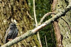 Étourneau sansonnet_08 (Jean-Daniel David) Tags: oiseau passereau réservenaturelle forêt bois arbre branche bokeh étourneausansonnet nature faune grandecariçaie suisse suisseromande yverdonlesbains vaud perchoir perché