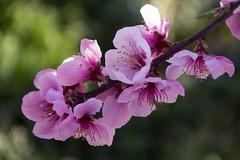 2019-03-10_08-41-23 (A.Cuerva) Tags: melocotoneros flor aitona paisajes árboles frutales bonito viajar visitar