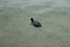 Coot @ Lake Annecy @ Petit port @ Annecy-le-Vieux (*_*) Tags: winter hiver 2019 march afternoon europe france hautesavoie 74 annecy annecylevieux savoie lacdannecy lakeannecy lac lake petitport