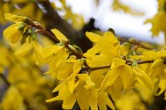 Premières couleurs de printemps (Croc'odile67) Tags: nikon d3300 sigma contemporary nature fleurs flowers printemps spring