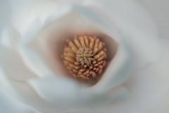 blottie (christophe.laigle) Tags: christophelaigle fleur macro soft nature flower fuji douceur magnolia blanc xpro2 xf60mm white