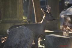 IMG_8301 (Pfluegl) Tags: wien vienna zentralfriedhof graveyard europe eu europa österreich austria chpfluegl chpflügl christian pflügl pfluegl spring frühling simmering reh rehe deer animal tier