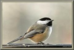 Carolina Chickadee (acadia_breeze4130) Tags: pennsylvania bird backyardbirds chickadee carolinachickadee songbird nature naturephotography wildlife eos tamron 150600mm karencarlson