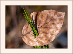 Sieg des Frühlings... (Victory of spring...) (alfred.hausberger) Tags: blatt herbst laub frühling gras grün