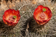Cactus Flower (Peter.Stokes) Tags: australia australian cactus colour colourphotography countryside flora flower flowersplants garden landscape landscapes native nature photo photography trees cactusflower cactuscountry victoria