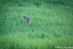 Sti ragazzi col cappello all'indietro... (Castello foto) Tags: lepre wild rabbit grano peluche wildlife wildphotography canon valmarecchia nature naturalistica