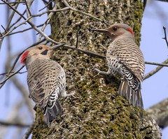 Northern Flickers. (rumerbob) Tags: northernflicker flicker woodpecker bird birdwatching birdwatcher avian fortwashingtonstatepark wildlife wildlifephotographer wildlifewatcher nature naturewatcher naturephotography canon7dmarkii canon100400mmlens