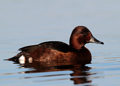 Ferruginous Duck (Darren.Chapman) Tags: ferruginous duck brown rufous attenborough nottingham