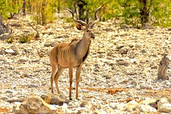 Kudu Buck (cb dg photo) Tags: kudu animal wildlife wildlifephotography etosha etoshanationalpark africa namibia travel desert vacation waterhole olifantsbad safari antelope horns buck kudubuck