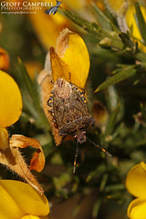 Bronze Shieldbug (Troilus luridus) (gcampbellphoto) Tags: troilus luridus bronze shieldbug bug insect macro nature wildlife woodland ireland gcampbellphoto gorse north antrim northern