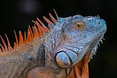 Green iguana (invasive) Naples, FL. (j1985w) Tags: naples florida wildlife iguana invasivespecies invasive greatphotographers