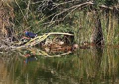 Western Swamphen (Wild Chroma) Tags: porphyrio porphyrioporphyrio swamphen birds nonpasserines portugal algarve faro ludo riaformosa