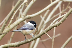 Black-capped Chickadee-3773-3 (vdrobphoto) Tags: canon5d111 canon400mm56l chickadee birds bird coth coth5