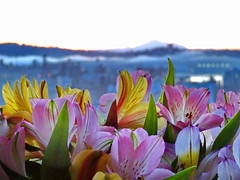 Inside looking out (peggyhr) Tags: peggyhr dof city mountbaker harbour sunrise flowers peruvianlilies dsc03155a vancouver bc canada alstroemerias fog carolinasfarmfriends super~sixbronze☆stage1☆ frameit~level01~ level1pfr super~six☆stage2☆silver thegalaxy