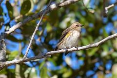 Yellow-rumped Warbler (dbadair) Tags: outdoor water nature wildlife 7dm2 canon florida bird ftdesoto ft