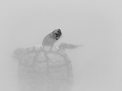 Melanistic adult male pond slider (Trachemys scripta) (Zachary Cava) Tags: blackandwhite turtle reptile herpetology animalia chordata reptilia testudines emydidae trachemysscripta pondslider melanistic malepondslider invasivespecies exoticspecies nonnativespecies ecology melanism sexualdimorphism
