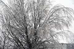 Iced tree (Bob (sideshow015)) Tags: tempête glace branches arbre hiver beautédelanature storm ice tree winter naturebeauty nikon 7100 mississauga ontario canada