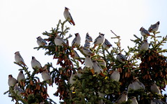 Convention (diffuse) Tags: birds backyard cones spruce perch waxwing bohemianwaxwing
