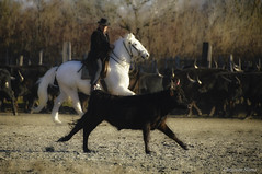 _DSC0608 (chris30300) Tags: camargue cheval