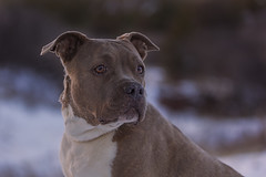 Molly (Cruzin Canines Photography) Tags: animal animals canon canoneos5ds canon5ds canine 5ds eos5ds tamron tamron90mmf28dimacro11vcusd dog dogs pet pets pitbull pit pitbullterrier americanpitbullterrier terrier molly cute outdoors nature naturallight naturepreserve gardenofthegods colorado coloradosprings winter snow