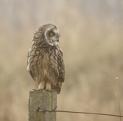 Short-eared Owl on a foggy morning (Asio flammeus) (Fly~catcher) Tags: asio flammeus short eared owl post wire droplet foggy misty