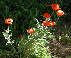 Painted by the sun (LivGreen) Tags: red poppy flowers garden grass dirt