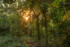 First light (feisas) Tags: indonesia maluku jungle forest light sun morning green grass trees adventure outdoor outside bagus pagi alam rimba camping hiking sonya7 fullframe travel banda sunrise matahari early asia