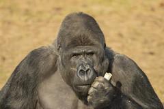 Westerse Laaglandgorilla - Safaripark Beekse Bergen - Hilvarenbeek (Jan de Neijs Photography) Tags: dierentuin zoo tamron tamron150600 150600 dierenpark nl holland thenetherlands dieniederlande diergaarde g2 animal dier beeksebergen safaripark safariparkbeeksebergen hilvarenbeek aap ape noordbrabant sbb westelijkelaaglandgorrila laaglandgorrila gorrila westernlowlandgorilla gorillagorillagorilla tamron150600g2