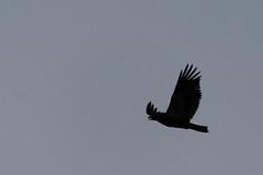 Eagle - Palisade, Colorado (BeerAndLoathing) Tags: 2018 pallisade usa palisade roadtrip silhouette august 77d birds colorado trip lake canon summer eagles pallisadetrip canoneos77d sigma18300mmf3563