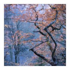 Colours (gerainte1) Tags: hasselblad501 film portra400 colour trees woodland woods autumn yorkshire