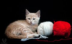 Bizet (accursiocastrogiovanni) Tags: gatto gatta gattino gattina gattini animale cat cats domestico animaledomestico