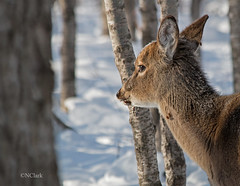 Lost in thought (N.Clark) Tags: whitetaileddeer deer youngdeer frost snow winter frostondeer lostinthought think contemplate lookingoutwards mammals manitobawildlife nature naturephotography pensive naturethroughthelens