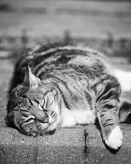 Relaxed (John Fenner) Tags: nikon d750 fullframe fx cat tabby laying relaxed pet domestic nature feline black white mono nikkor 200500mm f56 zoom