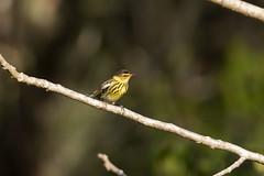 Cape May Warbler (Baractus) Tags: john oatyes cape may warbler cuba sierra de cubitas naturetrek