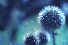Prickly (Small and Beautiful) Tags: pricklesandco smileonsaturday macro flower beauty dream