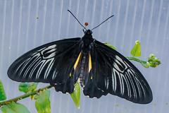 Golden Birdwing Butterfly (Stephen G Nelson) Tags: insect butterfly birdwing botanicalgarden tucson arizona