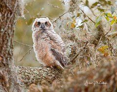 Great Horned Owlet (Let there be light (A.J. McCullough)) Tags: texas texasbirds owls owlet greathornedowl birds brazosbend brazosbendstatepark nest nesting featheryfriday