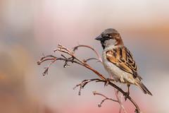 House sparrow male (Lynn Tweedie) Tags: housesparrow bokeh beak tail wing canon ngc animal male 7dmarkii feathers sigma150600mmf563dgoshsm bird eos eye missouri branch