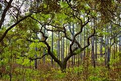 Pine Flatwoods Background (surfcaster9) Tags: trees oak nature gnarly forest florida lumixg7 lumix20mmf17llasph outdoors woods pines