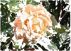 Jesu, deine Passion (amras_de) Tags: rose rosen ruža rosa ruže rozo roos arrosa ruusut rós rózsa rože rozes rozen roser róza trandafir vrtnica rossläktet gül blüte blume flor cvijet kvet blomst flower floro õis lore kukka fleur bláth virág blóm fiore flos žiedas zieds bloem blome kwiat floare ciuri flouer cvet blomma çiçek zeichnung dibuix kresba tegning drawing desegnajo dibujo piirustus dessin crtež rajz teikning disegno adumbratio zimejums tekening tegnekunst rysunek desenho desen risba teckning çizim