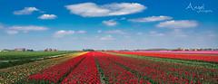 spring party (Wilma van Oorschot) Tags: wilmavanoorschot angelphotography olympusem5 olympusomde5 olympus mzuikodigitaled1250mm13563 12mm tulips landscape flowers outdoor nature clouds colors spring april sunandshadow holland